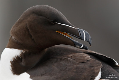 Pingouin torda/Razorbill
