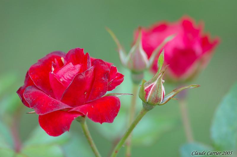 roses de fin d'été