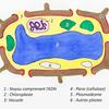 Cellule d'une plante verte