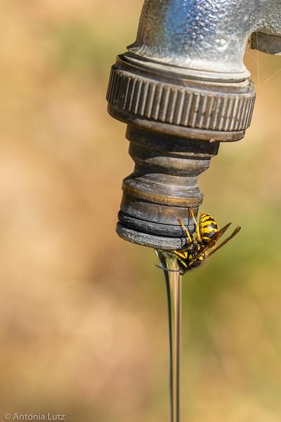 Durstige Wespe