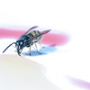 fly eating syrup