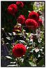 Dahlia Pinnata Jubilar med røde blomster. Foto: Torben Christensen  København ©
