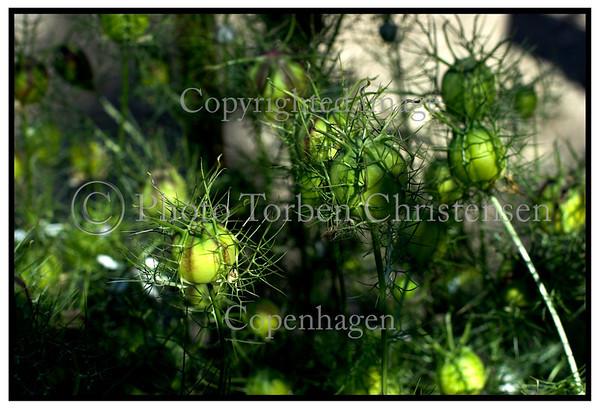 Jomfru i Det Grønne, Nigella Damascena.. Foto: Torben Christensen  København ©