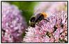 Humlebi kravler og samler pollen på en Allium Nutans blomst. Foto: Torben Christensen  København ©