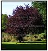 Blodblomme, Prunus Cerasifera, Atropurpurea'. Foto: Torben Christensen  København ©