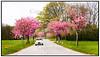 Citroen 2cv på landevej med kirsebærtræer. Foto: Torben Christensen  København ©