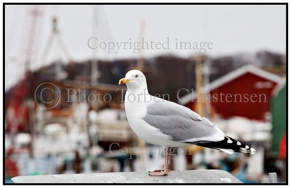 Måger  Gilleleje HavnFoto: Torben Christensen  København ©