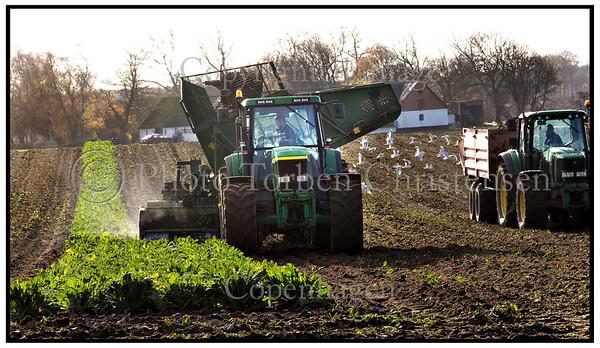 Høst optagning af sukkerroer på marker udenfor Næstved, Sukkerroehøst.  Foto: Torben Christensen  København ©
