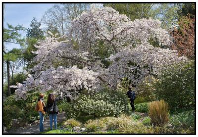 Kirsebærtræer i Landbohøjskolen 2010