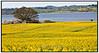 Det er de gule og grønne farver der dominerer her i den tidlige somme. Her er det en rapsmark på Tuse næs med udsigt over Isefjorden mandag 17. maj 2010