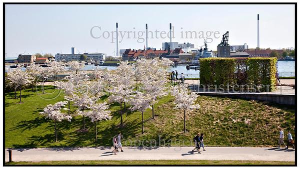 Kastellet i København.Nyudsprungne kirsebærtræer . Photo: Torben Christensen © Copenhagen, Foto: Torben Christensen   København ©