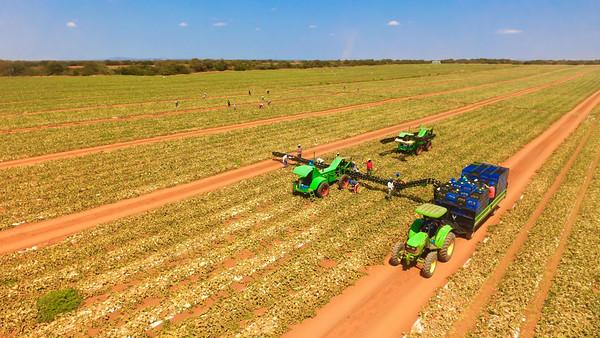 Plantação de melão