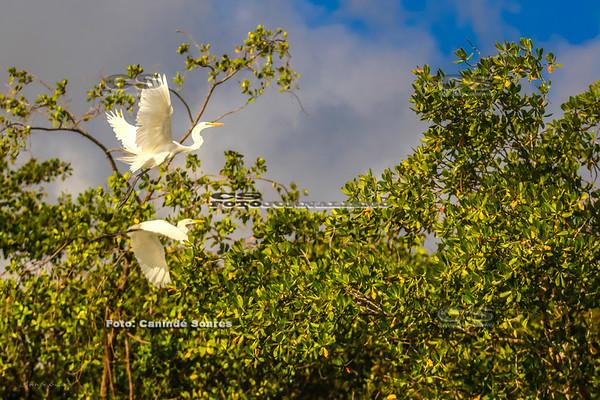 Garças no mangue