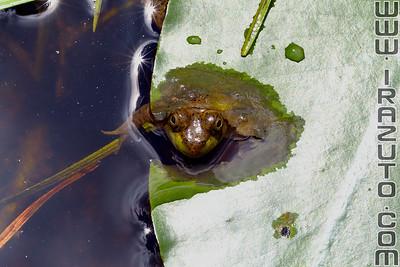 Amphibiens et reptiles - Amphibians and reptiles
