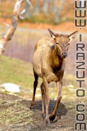 Cerf élaphe femelle