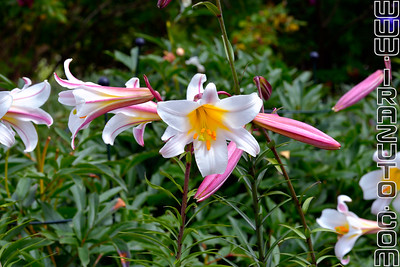 Lys royal - Lilium regale