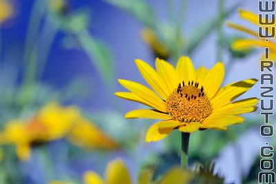 Marguerite jaune