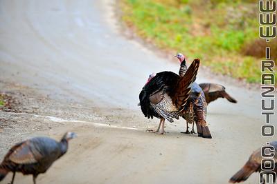 Dindes et dindons sauvages - Turkey