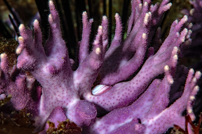 Commensal snail, Pedicularia californica on California hydrocoral, Stylaster californicus<br /> Farnsworth Bank, Catalina Island, California