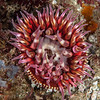 Anemone, Urticina mcpeaki<br /> <br /> Farnsworth Bank, Catalina Island, California