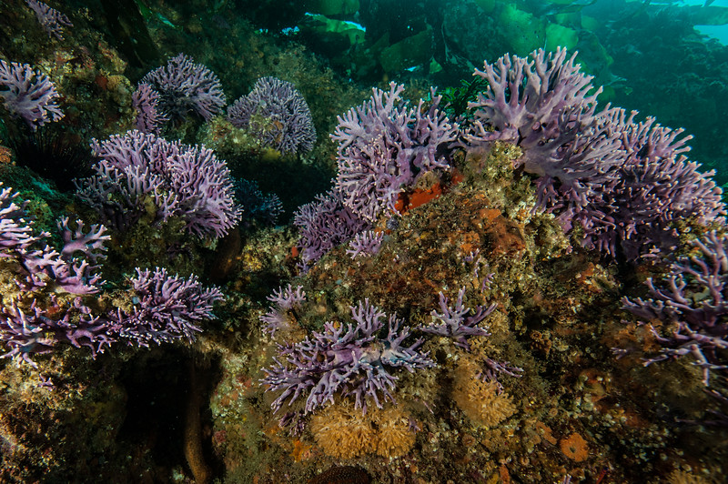 California hydrocoral, Stylaster californicus<br /> Farnsworth Bank on the Giant Stride<br /> Catalina Island, Los Angeles County, California