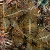 An invasive algae, juvenile Sargassum horneri<br /> ID thanks to Dr. Bill Bushing<br /> <br /> Farnsworth Bank, Catalina Island, California