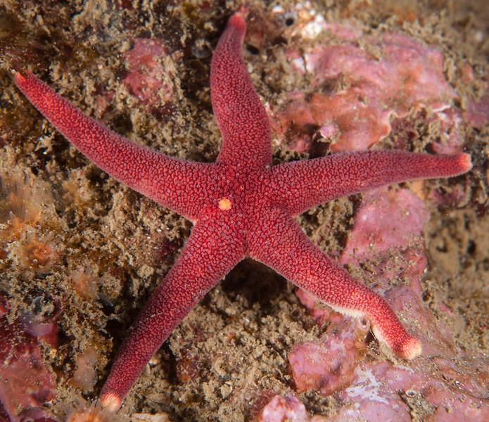 Blood star, Henricia sp.