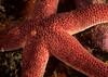 Sea star, Henricia sp.<br /> Halfway Reef, Palos Verdes, California