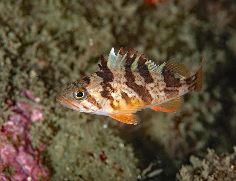 Juvenile calico rockfish, Sebastes dallii<br /> Golf Ball Reef, Palos Verdes, California