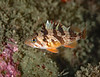 Juvenile calico rockfish, Sebastes dallii<br /> Golf Ball Reef, Palos Verdes, California