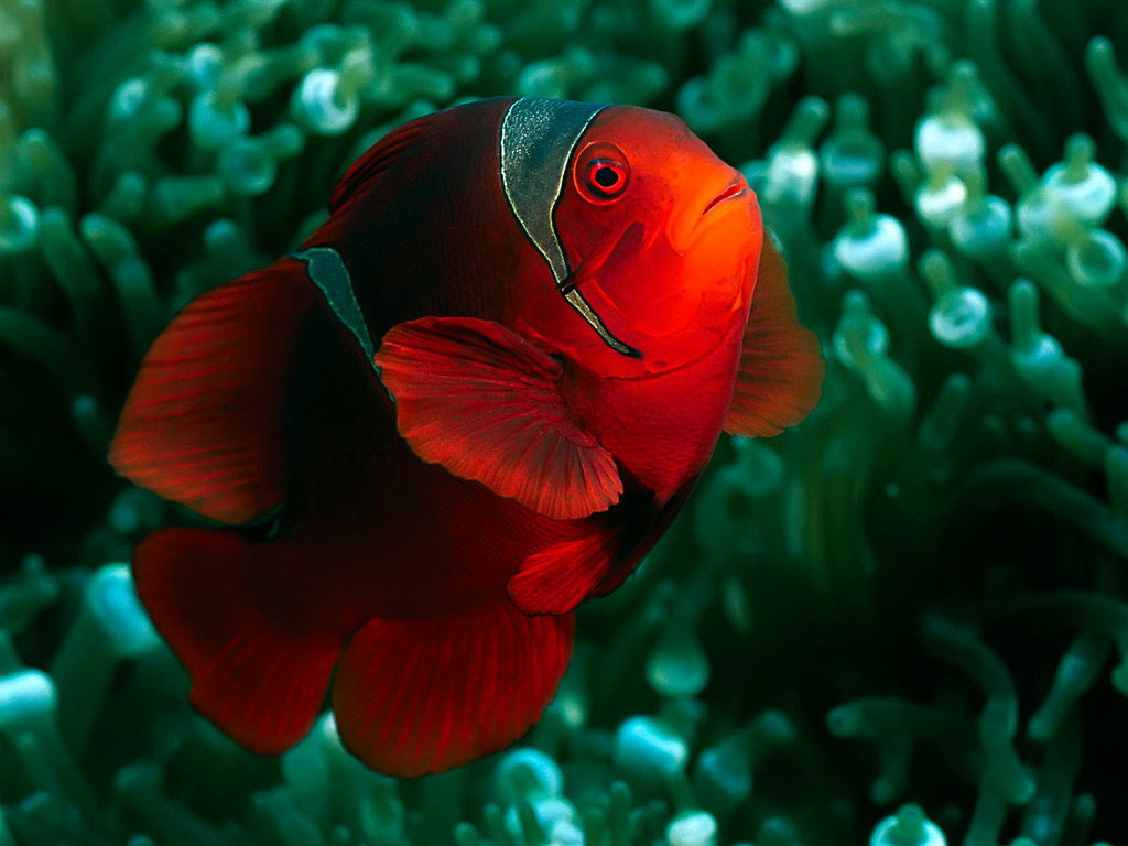 Spine-Cheek Anemonefish, Solomon Islands