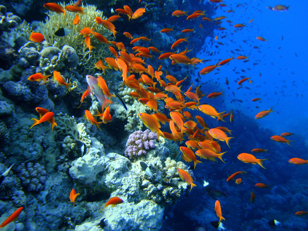 Anthias Clouding Egyptian Reef
