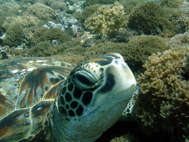 Turtle in Sipadan