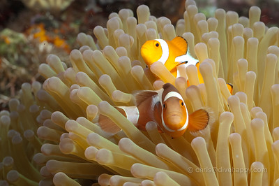 Clownfish in an anemone, Maumere, Indonesia