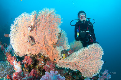 A diver with fan corals and soft corals at Richelieu Rock, near the Similan Islands, Thailand, 2012