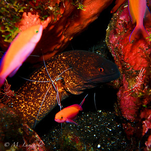 Yellow-Edged Moray Eel