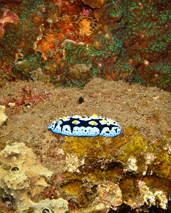 Nudibranch (Phyllidia coelestis)