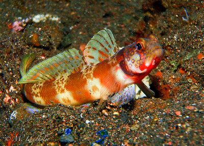 Broad-Banded Shrimp Goby