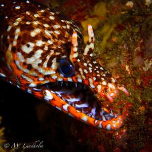 Tiger Eel
