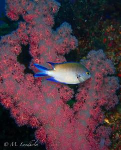 Chromis & Soft Coral