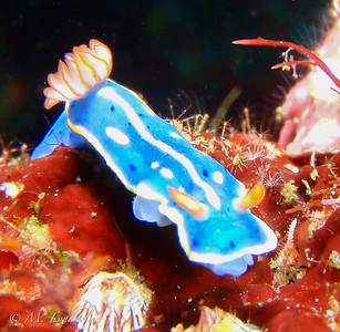 Nudibranch (Hypselodoris festiva)