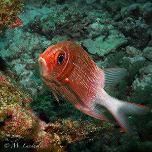 Whitetail Squirrelfish