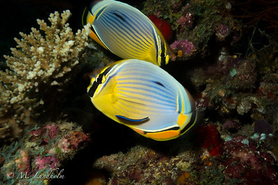 Indian Pinstriped Butterflyfish