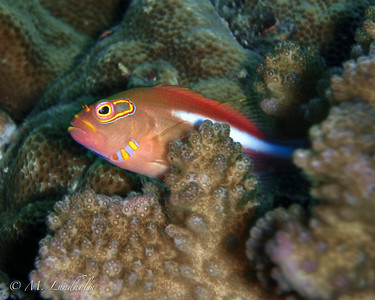Ring-eye Hawkfish