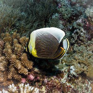 Reticulated Butterflyfish
