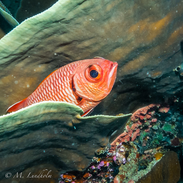 Yellowfin Soldierfish