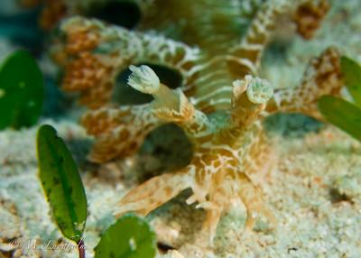 Nudibranch (Marionia)