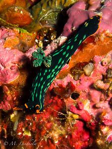 Nudibranch (Nembrotha kubaryana)