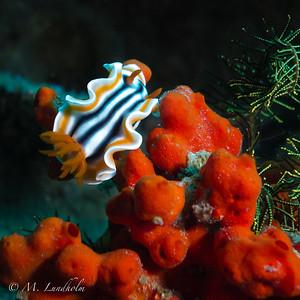 Nudibranch (Chromodoris magnifica)