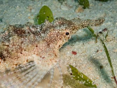 Sea Moth
